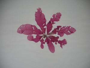Delesseria sanguinea pressing