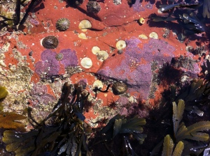 Red rock and purple Lithothamnion