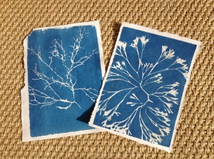 Sara's cyanotypes