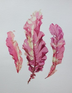 Delessaria sanguinea leaves 2