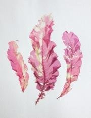 Delesseria sanguinea leaves