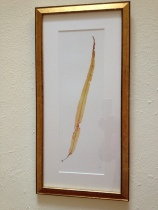 Golden Dabberlocks (Alaria esculenta)