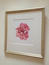 Pink Sea Fan (Callophyllis laciniata)